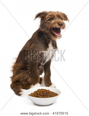 Crossbreed, 5 months old, sitting behind a bowl full of dog food and yawning against white background