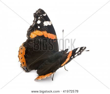 Old, damaged Red Admiral butterfly, Vanessa atalanta, against white background