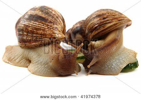 Snails Family