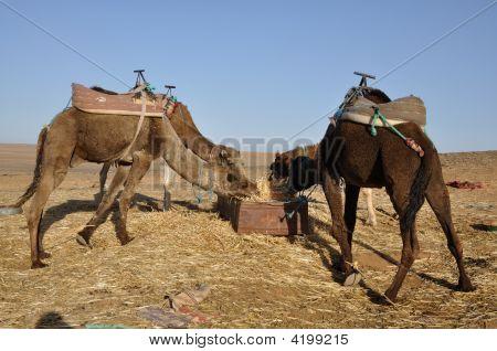 Camels Feed In The Oasis, Sahara Desert