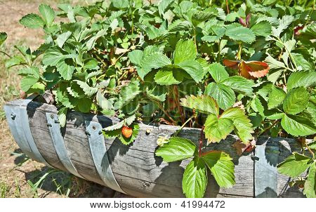 Barrell Of Unripened Strawberry Plants