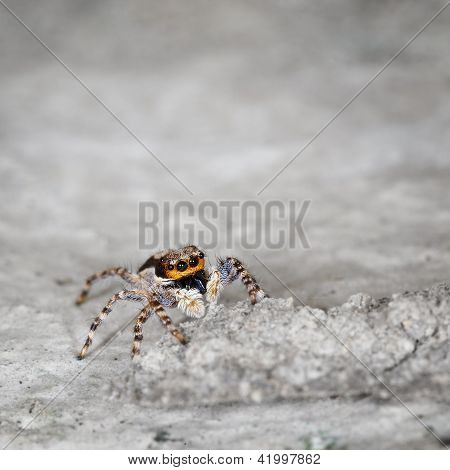 Salticidae - Small Spider On Grey Stone Close Up
