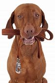 foto of vizsla  - dog holds leash in mouth ready for a walk - JPG