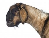 stock photo of anglo-nubian goat  - Side view Close - JPG