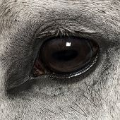 Close-up of an Andalusian eye, 7 years old, also known as the Pure Spanish Horse or PRE poster