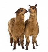 Two Alpacas looking at each other against white background