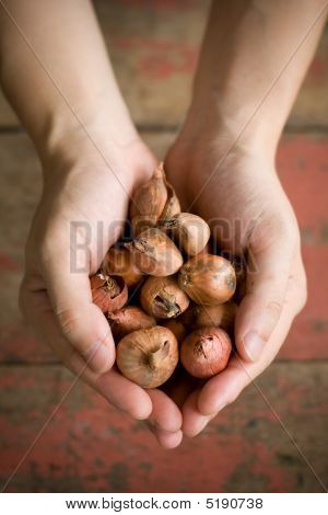 Hands Holding Onions