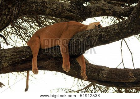 Lion Sleeping in Tree