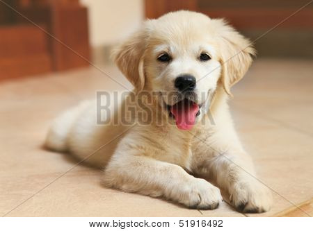 Golden Labrador Retriever Puppy