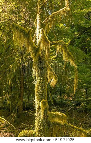 Moss On A Tree In An Old Growth Forest