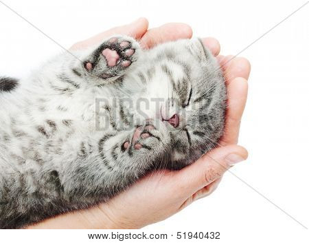 Sleeping kitten on hand white background.British Shorthair cat.