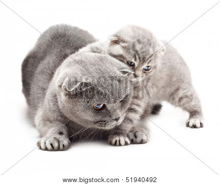 Mother and her kitten on white background.British Shorthair cat.