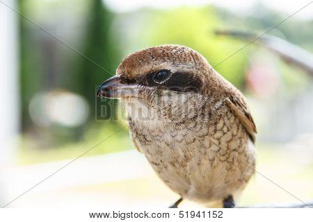 Brown Shike Bird