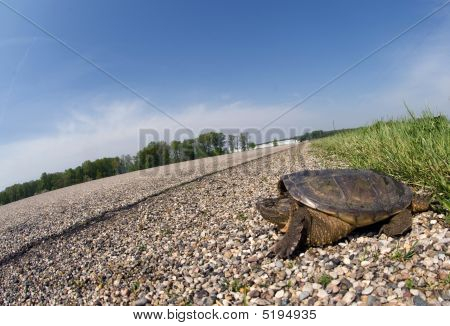 Snapping Turtle Crossing Road
