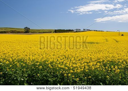 Canola Fields Near Creswick
