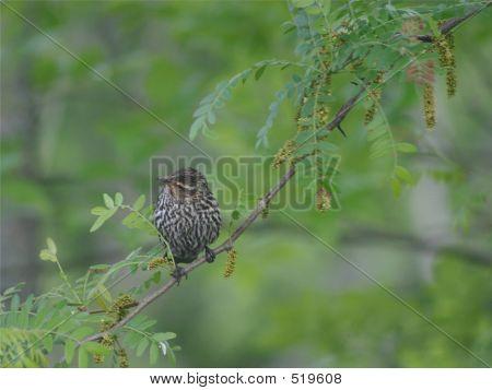 Ovenbird 2