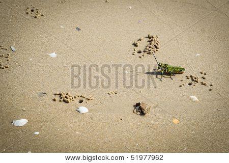 Grasshopper On A Beach