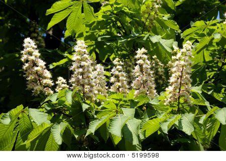 Chesnut Flowers