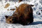 image of zoo animals  - a brown bear cub plays in the snow - JPG
