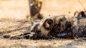 pic of wolf-dog  - African wild dog also known as the Cape hunting dog and painted wolf of Africa - JPG