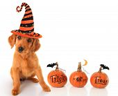 stock photo of witch  - Cute puppy wearing a Halloween witch hat with pumpkins - JPG