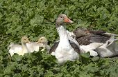 Domestic Goose With Fledglings