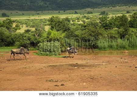 Blue Wildebeest walking towards the waterhole