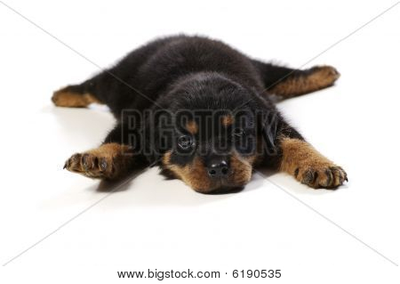 Two Cute Rottweiler Puppies