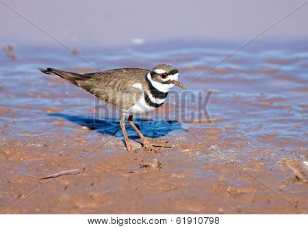Killdeer standing in Mud
