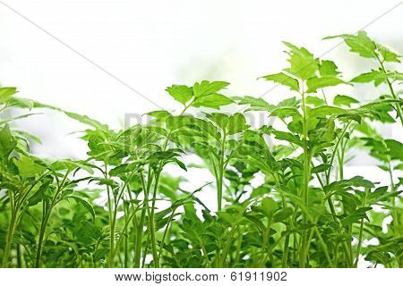 Young Green Tomatoes Plants