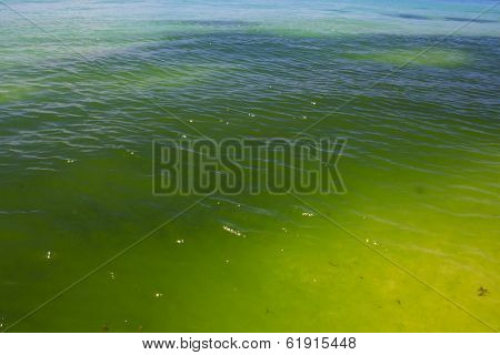 Green Algae in Sea