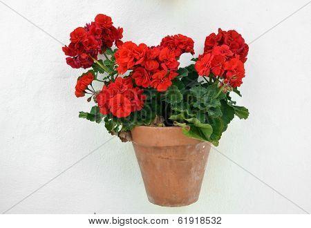 a potted geranium