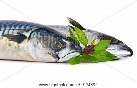 Fresh Mackerels Fish Decorated With Basil Twig