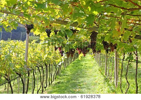 Ripe red wine Grapes in Trentino-Alto Adige, Italy