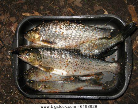 Fish in Karelia, Russia