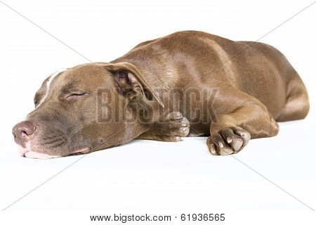 Happy Sleeping Dog Isolated on White