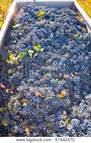 Mediterranean vineyard harvest   cabernet sauvignon grape field in Spain
