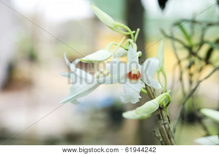 Dendrobium orchid white in the nature.Dendrobium draconis.