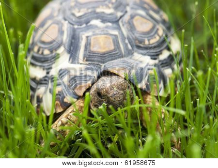 Turtle Walking In The Green Grass