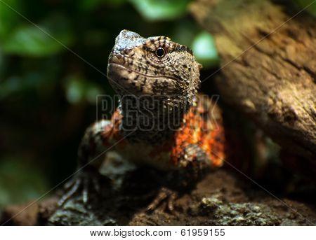Chinese Crocodile Lizard (shinisaurus Crocodilurus)