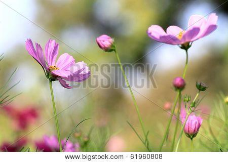 Cosmos Pink Flower