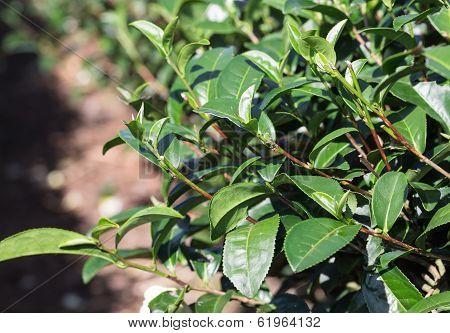Growing Tea Leaves