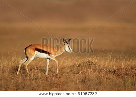 Springbok antelope (Antidorcas marsupialis) walking in grassland, South Africa