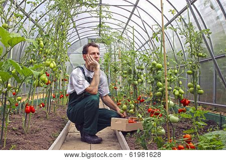 Worker Sitting Thinking About The Harvest Of Tomatoes In The Greenhouse