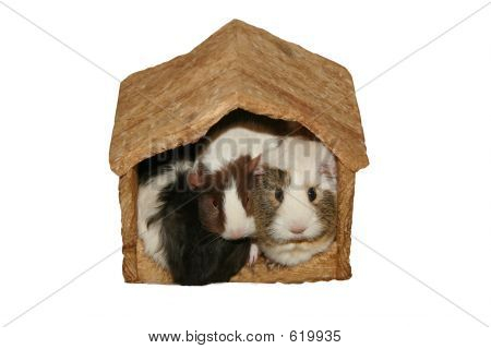 Guinea Pigs Crowded Home