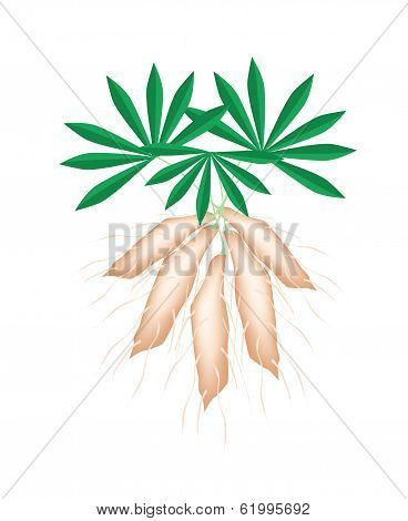 Fresh Tapioca Plants Cassava On White Background