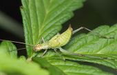 picture of cricket insect  - Insect a young green cricket on grass - JPG
