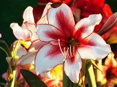 picture of lillies  - Close up beautiful red white lily  - JPG