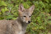 stock photo of coyote  - Young coyote head and shoulders portrait with green background - JPG