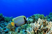 stock photo of angelfish  - Coral Reef Underwater with Emperor Angelfish - JPG